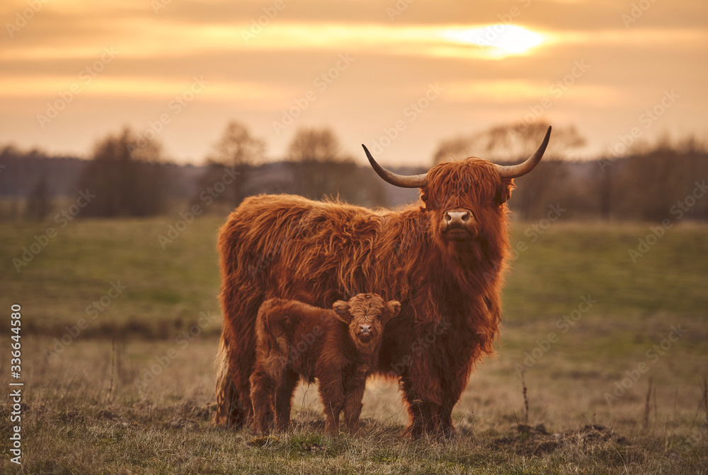 Fototapeta Highland cow and calf. Sunset over the pasture