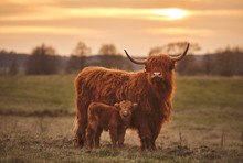Highland Cow And Calf. Sunset ...