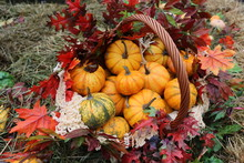 """Decorative Pumpkins In Basket From """"Golden Autumn 2019"""" Public Festival In Moscow. Halloween Decor With Fall Leaves, Fresh Mini Pumpkins """"Jack Bee Little"""". Harvest, Garden In City, Urban Gardening"""