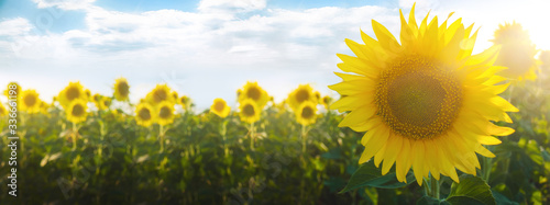 Yellow sunflower flower on a background of a plantation field at sunset. Agriculture industry and farming. Growing seeds, raw material for sunflower oil production. Ukraine, Kherson region.