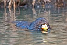 Close-up Of Eating Beaver (Cas...