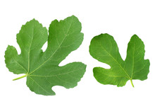 Fig Leaf Isolated On White Bac...
