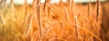 Ripe Ears Of Golden Wheat Clos...