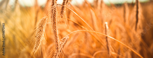 Fototapeta Ripe ears of golden wheat close up. Wheat field. Harvest Concept obraz