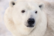 Big White Polar Bear's Muzzle