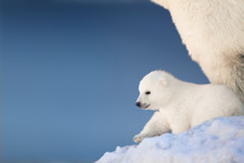 Little Polar Bear Cub In Snow