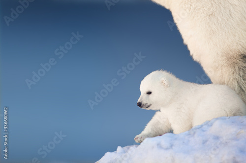 Obraz na plátně Little polar bear cub in snow