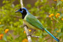 Green Jay Taken In Southern Texas In The Wild