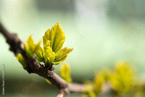 Fototapeta Young grape leaves in spring time obraz