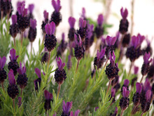 Wild Lavender Blossom Field