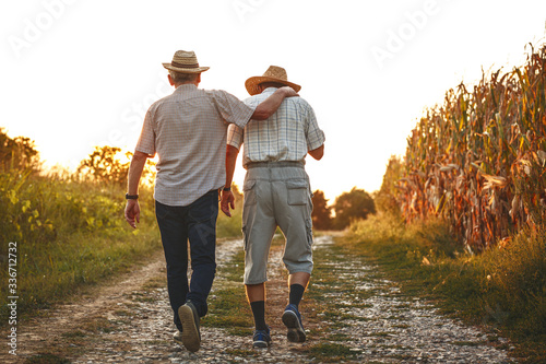 Fototapeta Two old friends.Two senior friends walks trough corn field on sunset. obraz