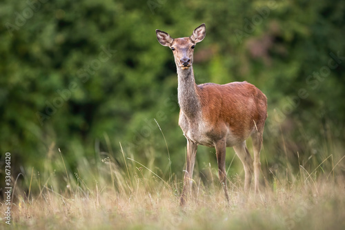 Obraz na plátně Alert red deer, cervus elaphus, hind looking into camera on a meadow with dry grass in summer