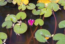 Aquatic Lotus Flowers