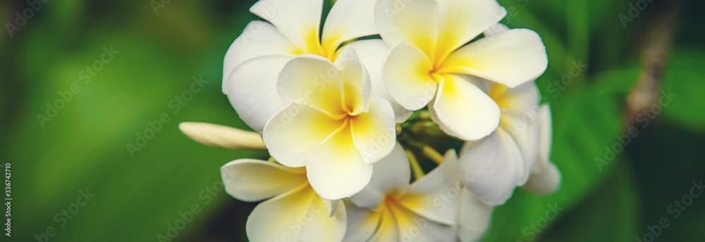 Fototapeta Beautiful white plumeria flowers on a tree. Selective focus.