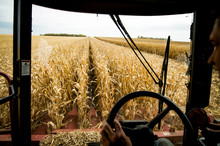 A Combine Harvests Corn In The...