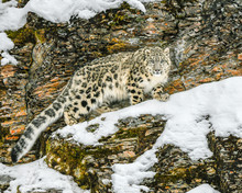 Leopard In The Snow