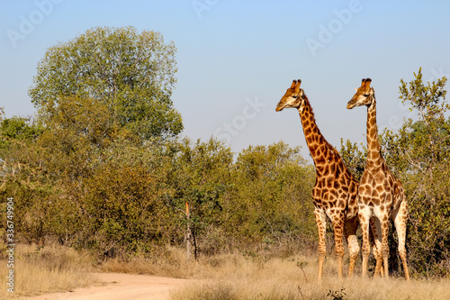 Giraffe in Sabi Sand National Park, South Africa Canvas Print