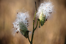 Sunlight On Milkweed Pods Abou...