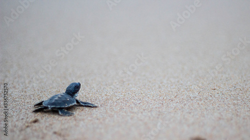 Valokuva Turtle hatchling heading to sea, baby turtle, Matara, Sri Lanka, Indian Ocean