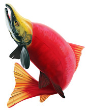 Sockeye Salmon Illustration. I...