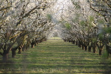 Mirabelle Plum Trees Orchard W...