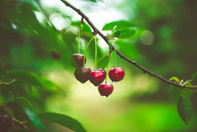 Ripe Cherries Growing On A Che...