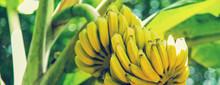 Bananas Growing On A Palm Tree. Selective Focus.