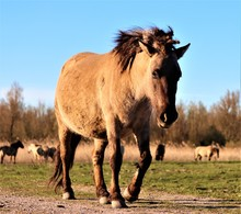 Wildlands Polish Horse (Konik ...