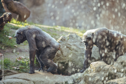 Photo Group of chimpanzees monkeys looking at the camera, walking on a tree trunk