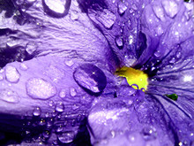 Close-up Of Water Droplets On A Purple Pansy Flower