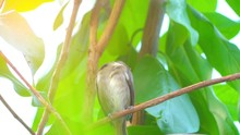 Rufous-tailed Flatbill (Ramphotrigon Ruficauda) Is A Species Of Bird In The Family Tyrannidae. Its Natural Habitat Is Subtropical Or Tropical Moist Lowland Forests.