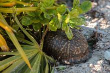 Ornate Box Turtle Hiding Among...