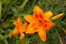 Orange Daylily Pair