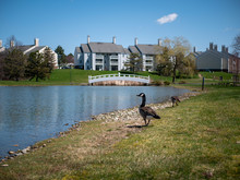 Two Canada Geese Near Lake In ...