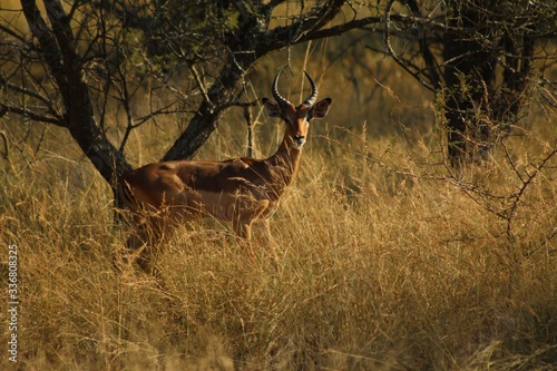 Fototapety, obrazy: impala in the savannah with sunset background