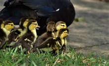 One Day Old Newly Hatched Muscovy Ducklings Are Finding Shelter By Their Mother