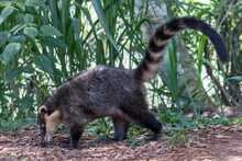 Coati Foraging For Food On Gro...