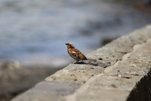 Close-up Of Sparrow On Retaining Wall