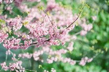 A Close Up Of Redbud Tree In B...