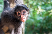 Close-up Of Spider Monkey At M...