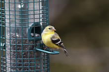 Closeup Of An American Goldfinch Perched On A Bird Feeder