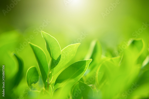 Fototapety, obrazy: Close-up of nature, green leaves on a blurred green background under morning sunlight with bokeh and copying areas, used as natural plant backgrounds, landscapes, ecological wallpapers or cover concep