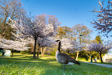 Canadian Goose, Spring Time With Cherry Blossoms In Vancouver, British Columbia