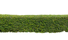Green Hedge Or  Bush Isolated ...