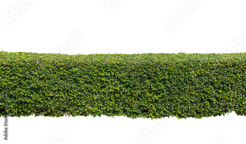 Green hedge or  bush isolated on white background Canvas Print