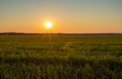 sunset over a field of young wheat