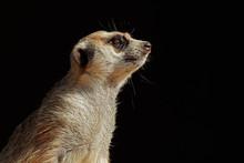 Meerkat Portrait On Black