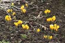 Gelbe Krokusse Im Gartenbeet 2