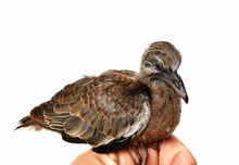 The Cute Little Spotted Dove O...