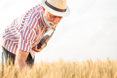 Fototapeta Serious gray haired agronomist or farmer examining wheat plants before the harvest. Back lit photo, low angle view obraz